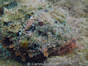 Scorpion Fish waiting for his next meal. by Carlos Rodriguez 